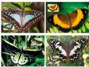 Australia Maximum Cards: APMX 526 Beautiful Butterflies set of 4
